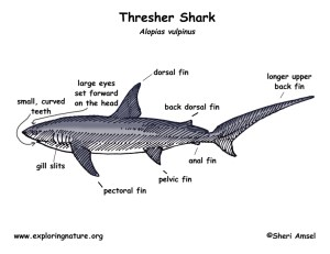 mehrapensmin: dogfish shark circulatory system