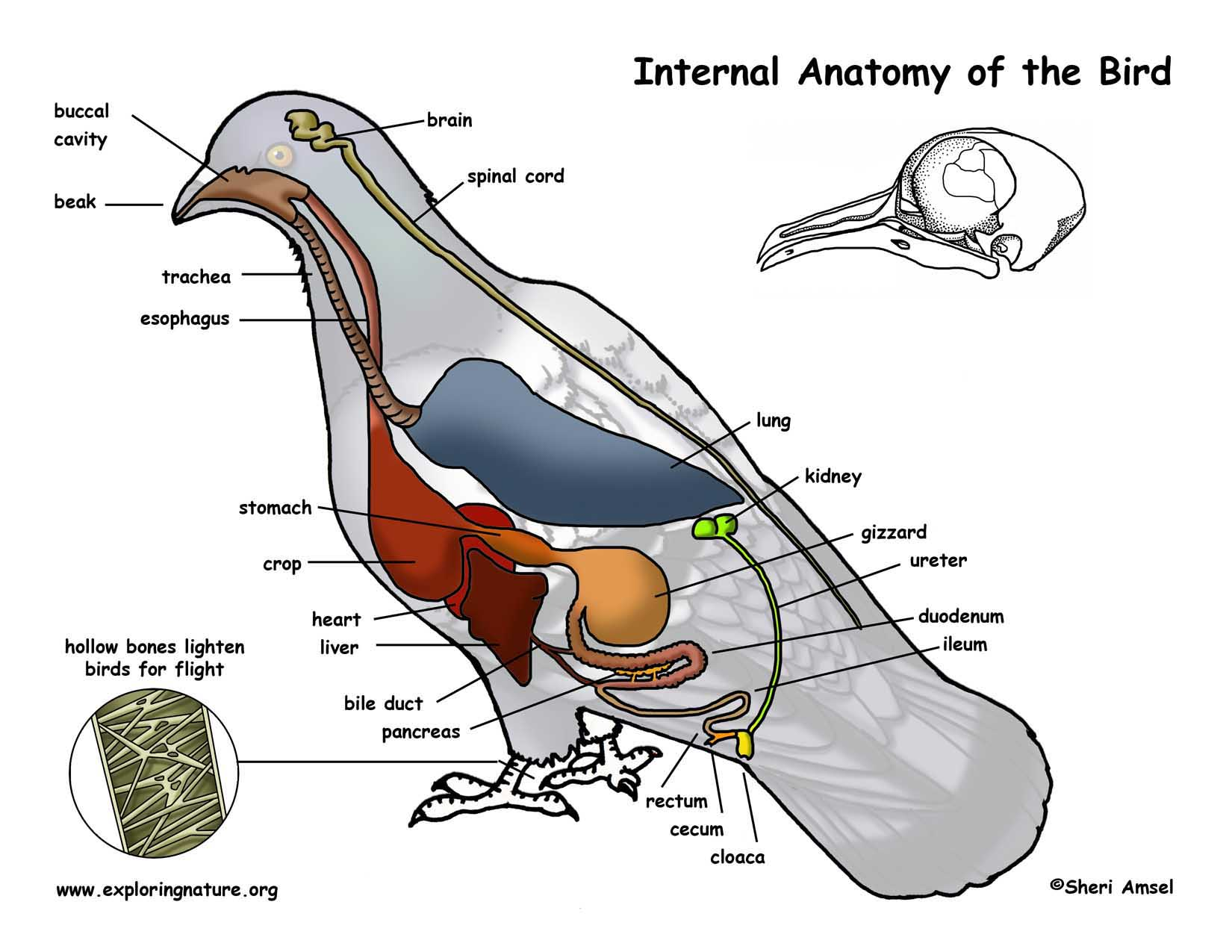bird of internal organ diagram wiring for 240 volt plug 404 not found