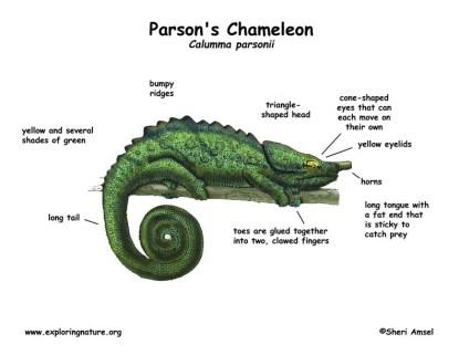 Chameleon (Parson's)