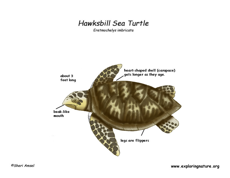 diagram turtle s head 2002 mitsubishi galant radio wiring sea hawksbill