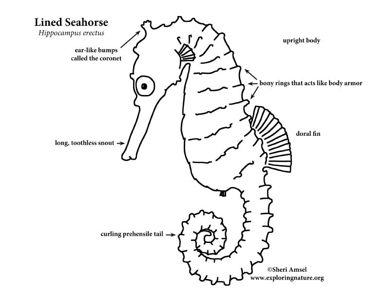 Seahorse Lined
