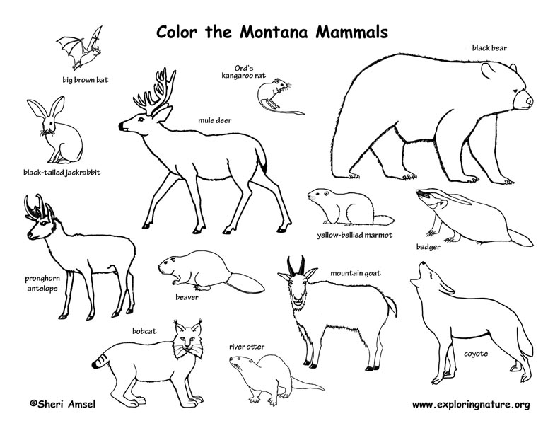 How To Draw The State Bird Of Montana Best Bird Colletion 2018