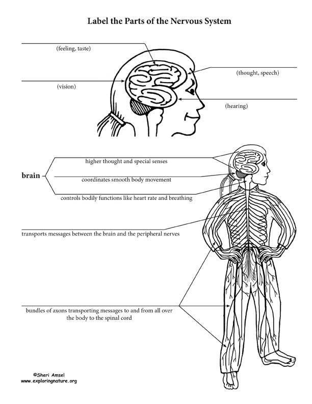 Nervous System Worksheets High School. Nervous. Best Free
