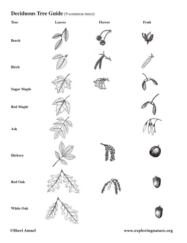 Tree leaf identification guide ontario