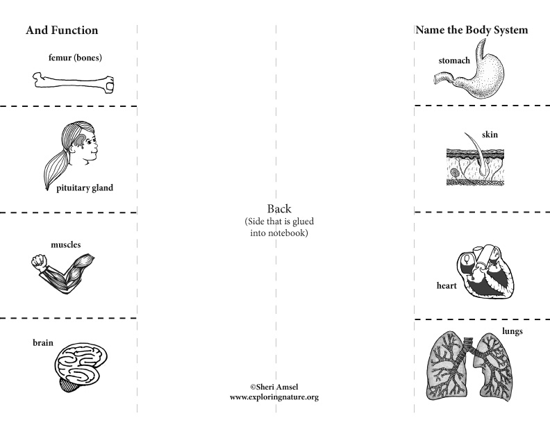 Body Systems: Foldable Activity