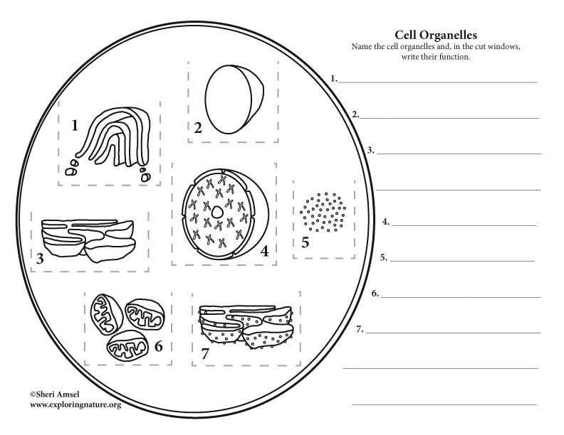 Cell Organelles Cut Windows: Foldable Activity