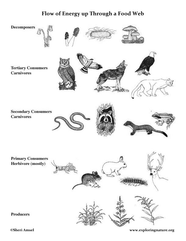 Food Web Lecture with Handouts