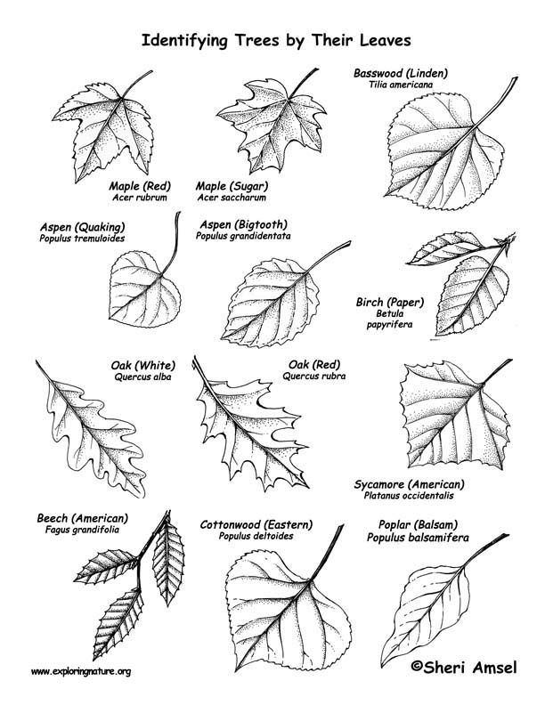 Trees (Deciduous by their Leaves) Labeling Page