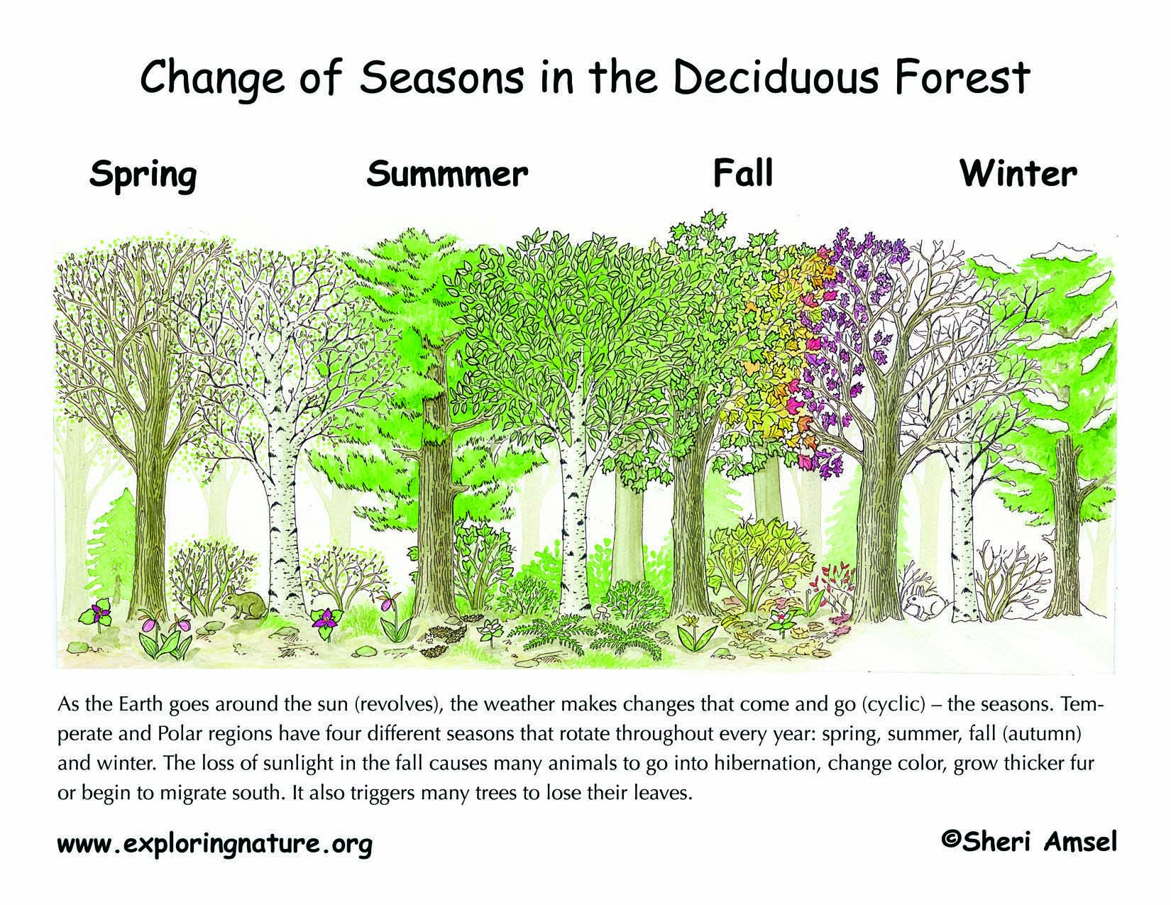 deciduous forest diagram ford car wiring diagrams changing seasons the tilted earth