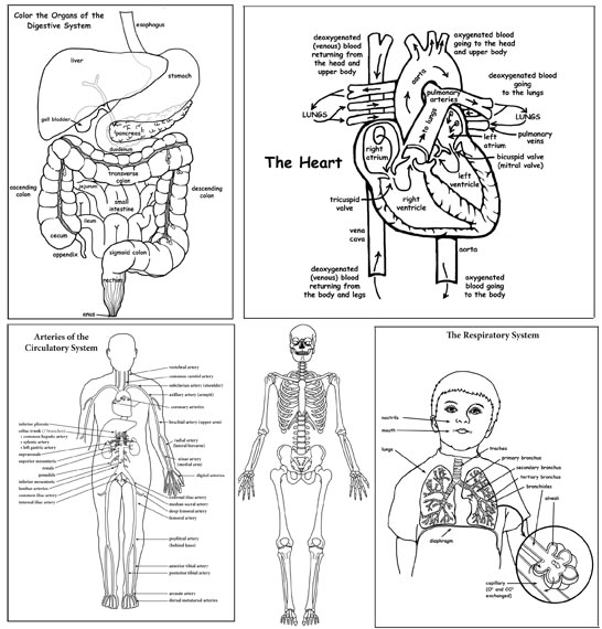Human Body Activity Bundle (High School & College