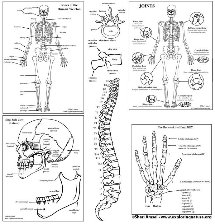 Skeletal System Diagram Bundle (High School & College