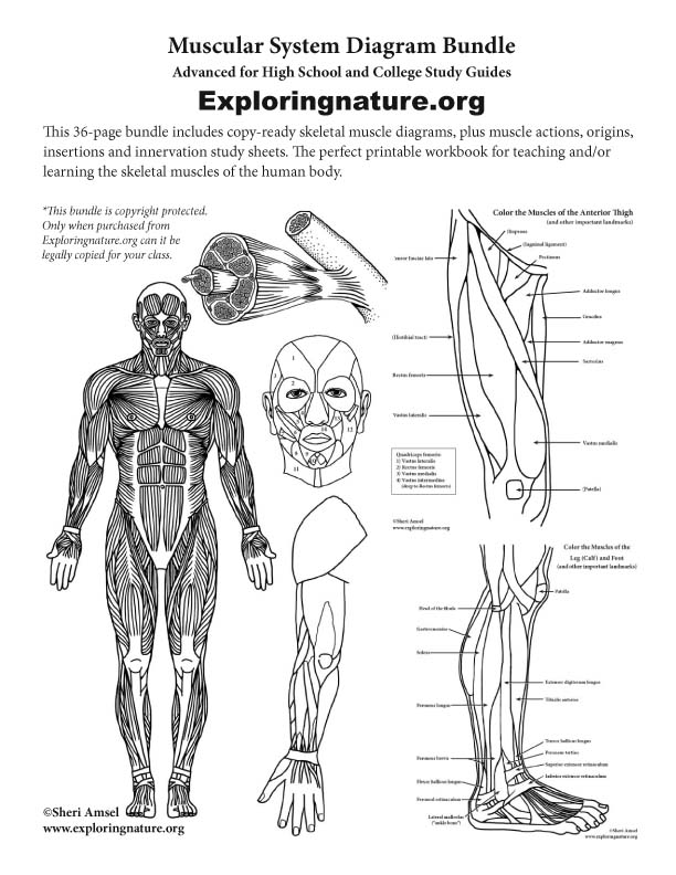 Muscular System Expanded Bundle (High School & College