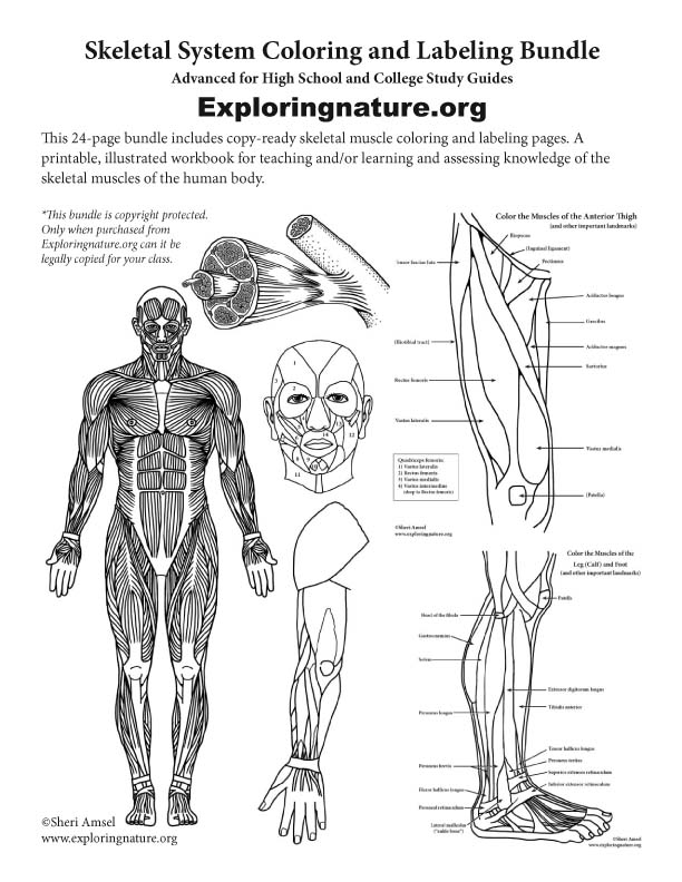 Muscular System Coloring and Labeling Bundle