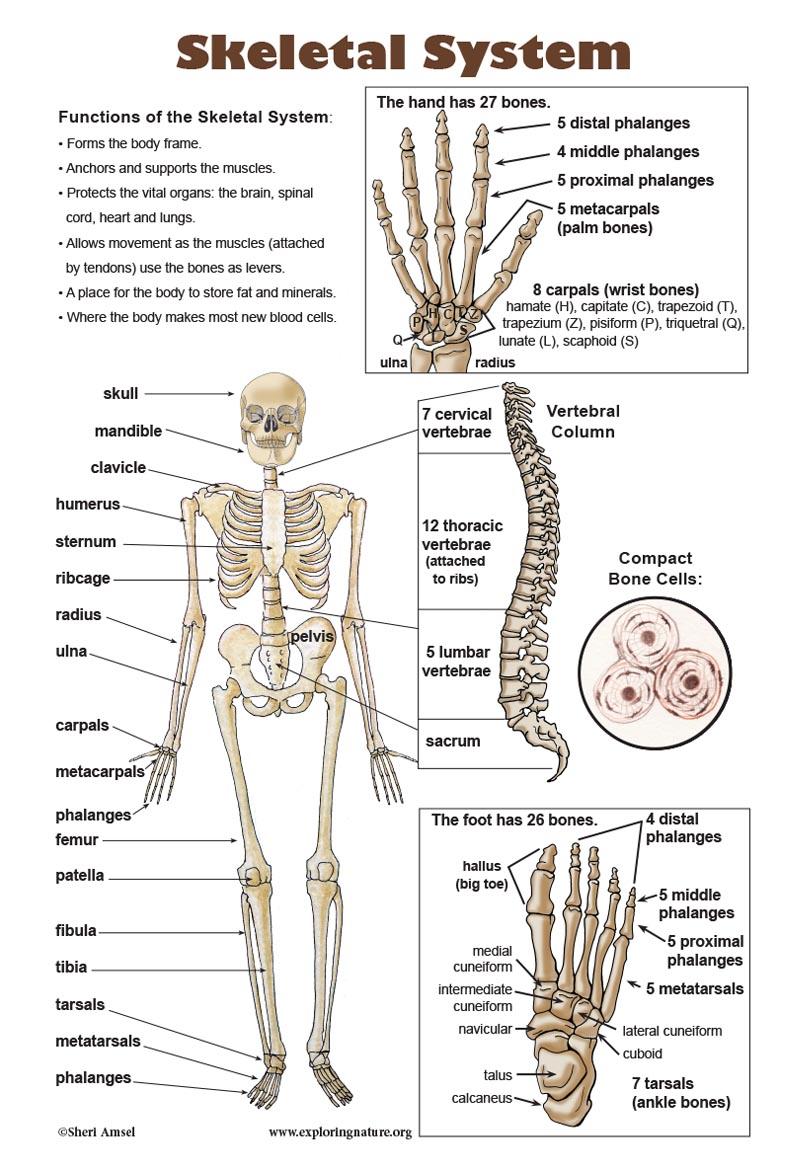 Skeletal System Poster - Downloadable Only