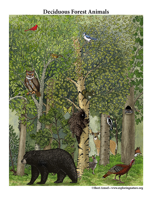 Deciduous forest biome drawing easy. Draw A Deciduous Forest Habitat Downloadable Only