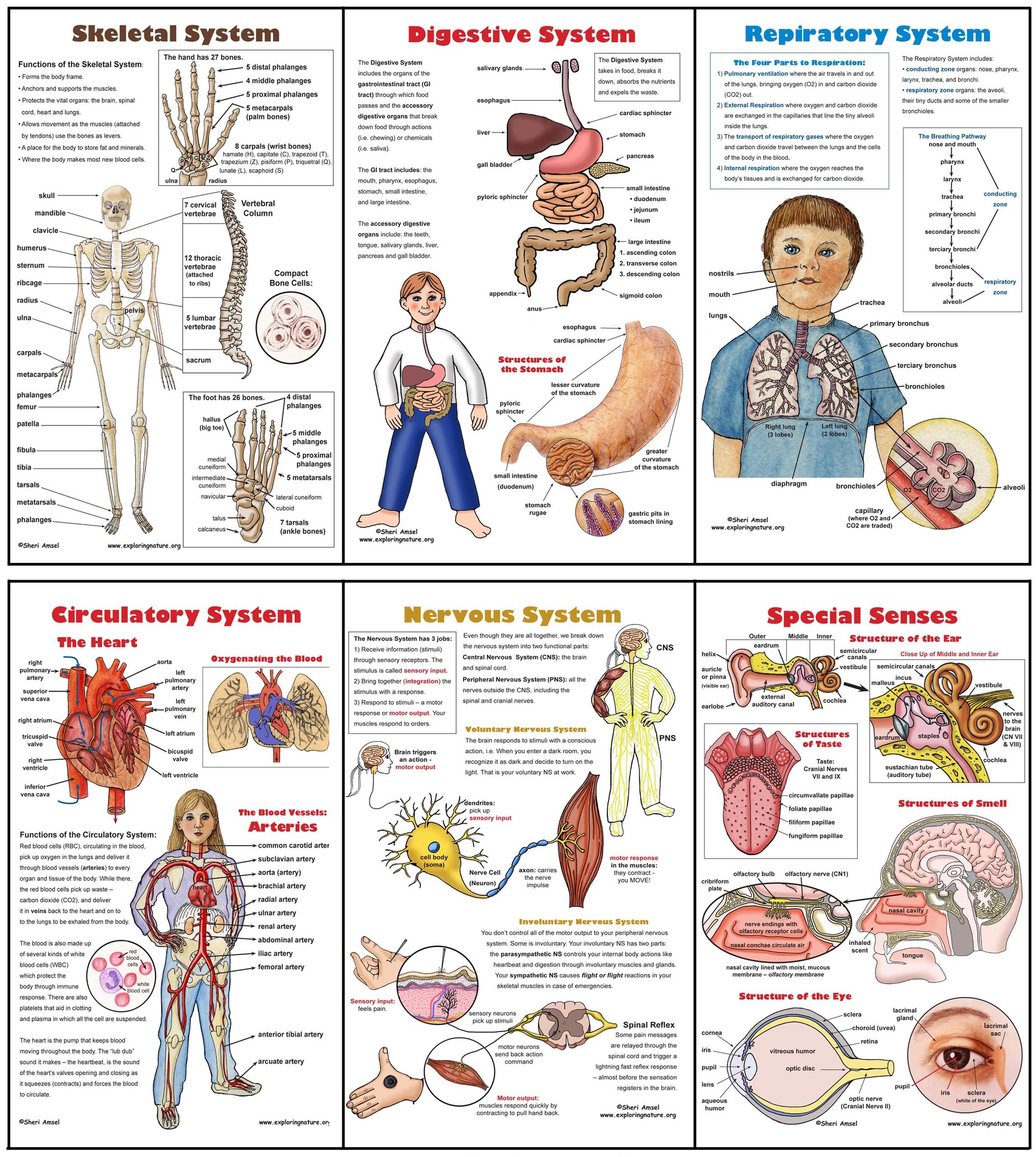 Images About Human Body Anatomy