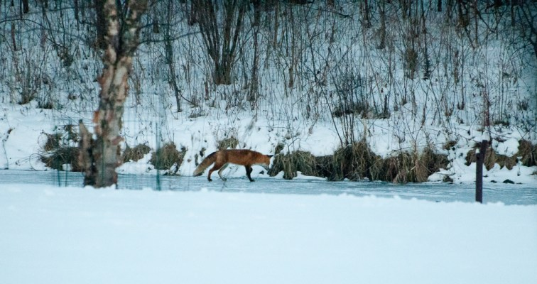fox-on-pond-20