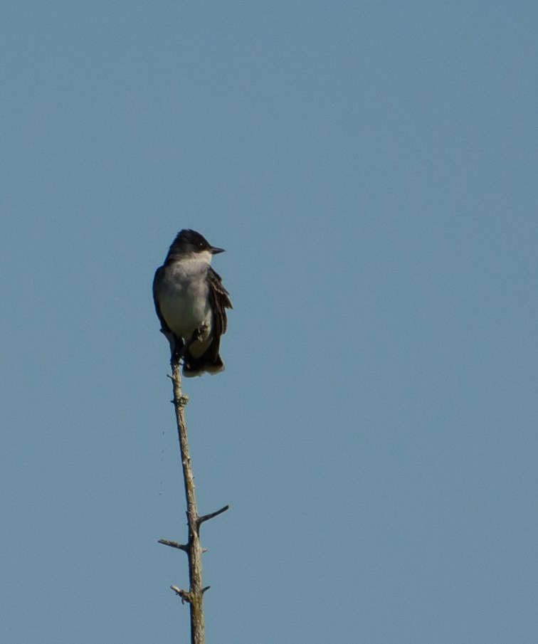 Kingbird while searching for a loon nest