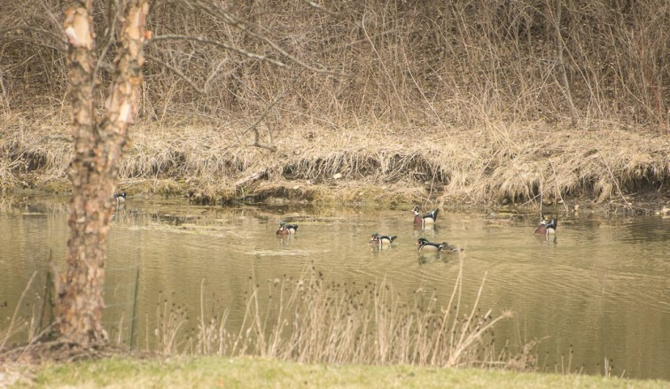 Wood ducks 2