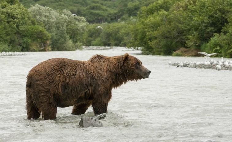 Brown Bear Gray Day (5)