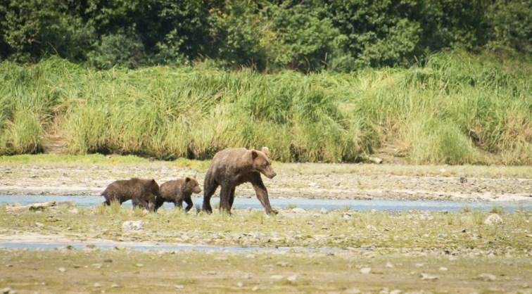 Wailing cubs (1)