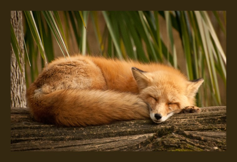 Dreaming Fox photograph