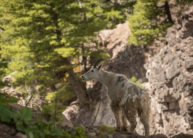 Shedding mountain goat