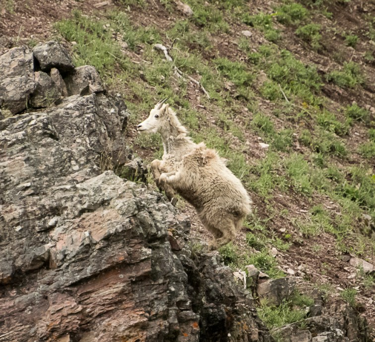 Sticking the Leap Mountain Goat