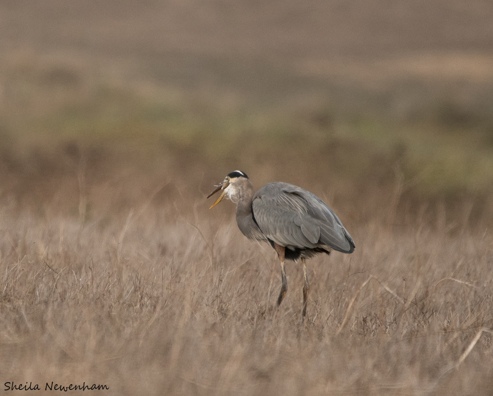 Hunting Great Blue Heron at Point Reyes