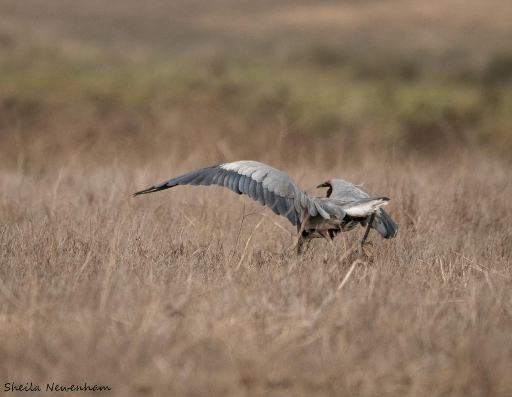 Hunting Great Blue Heron at Point Reyes