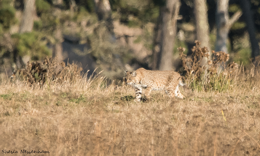Elusive bobcat hunting