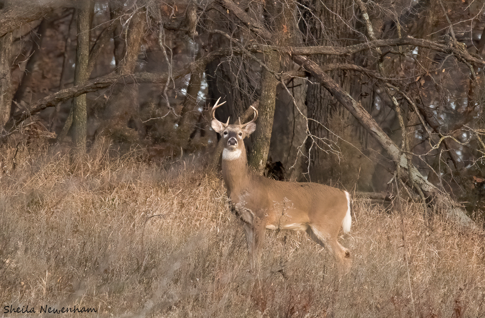 Waubsonie Deer