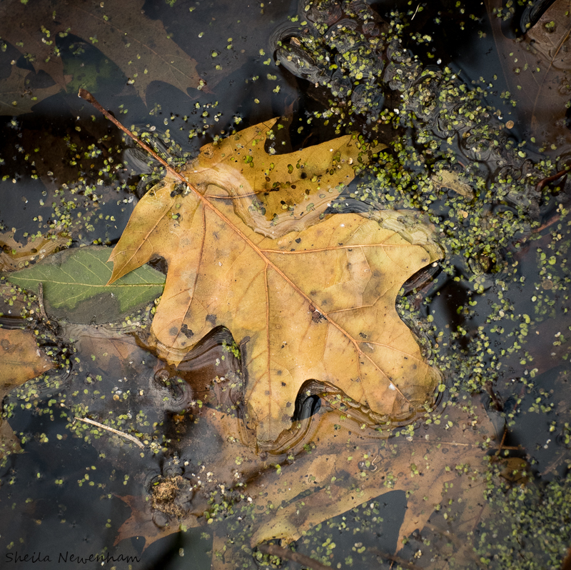 Frozen Oak Leaves and Duckweed