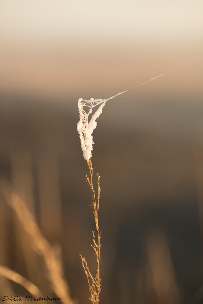 Orb Weaver Spider Silks