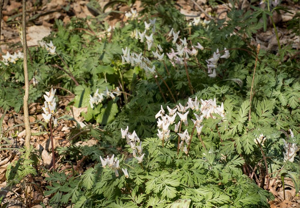 Woodland Ephemerals