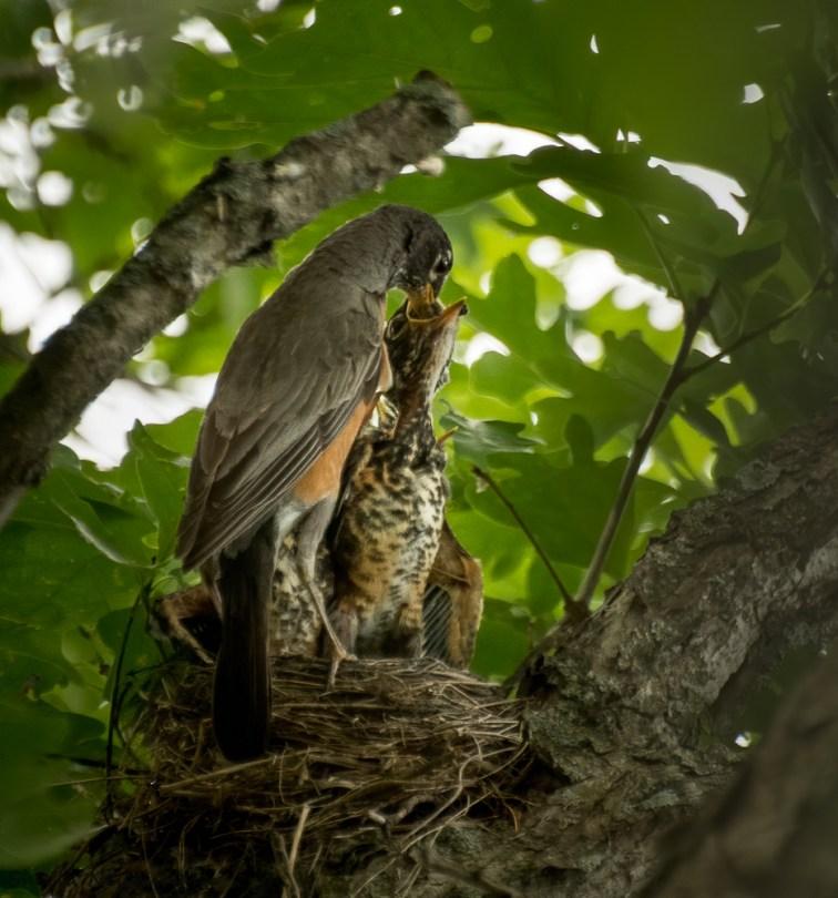 Robin feeding fledglings