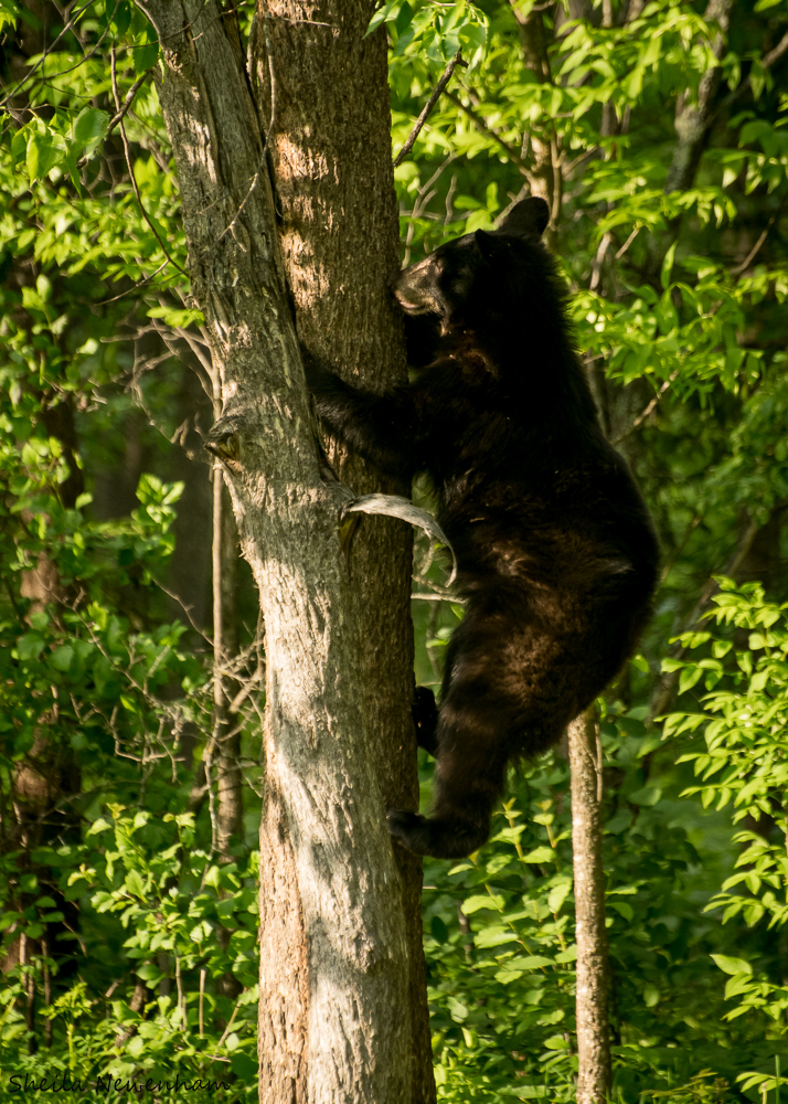 Bears in Trees