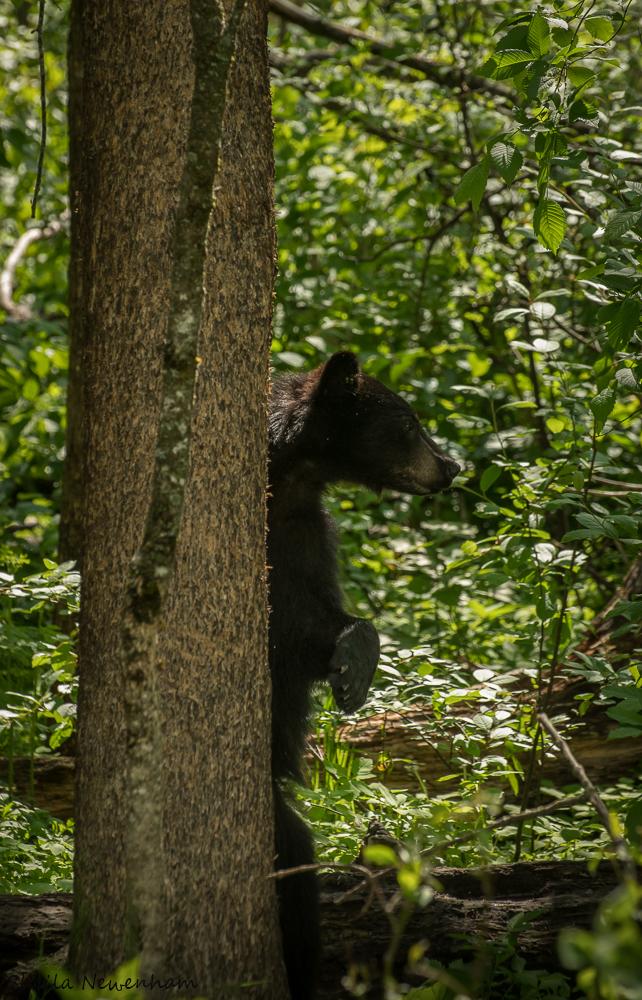 Bears in Trees