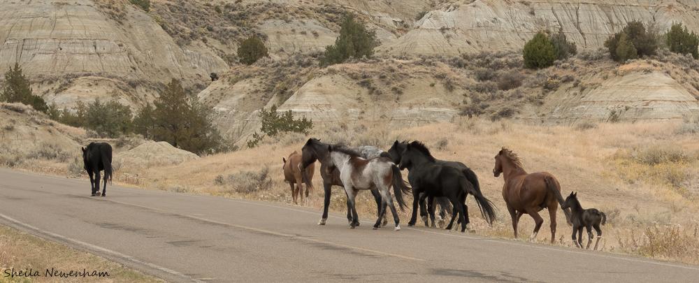 Theodore Roosevelt National Park Wild Horses