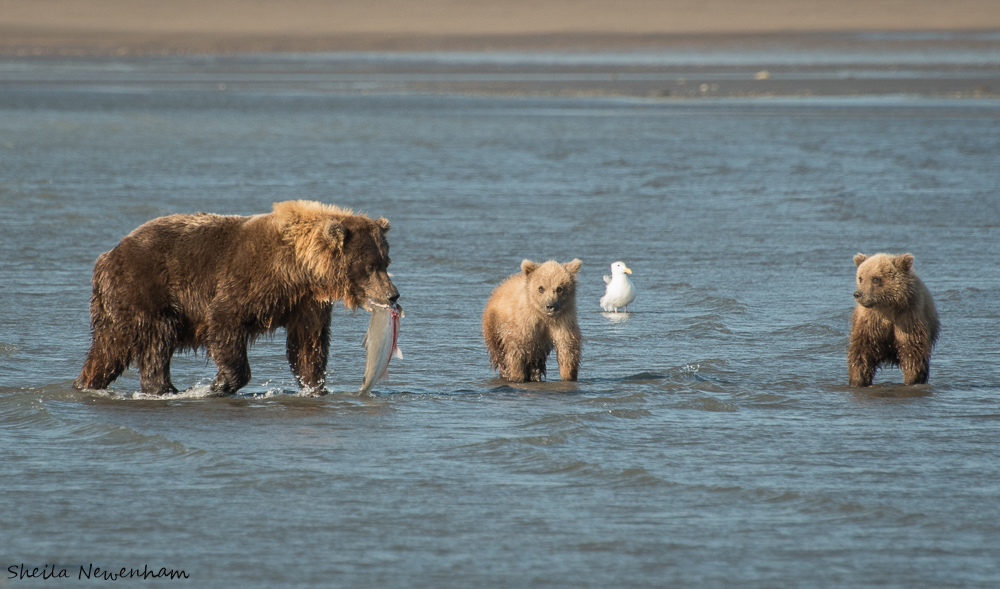 Alaska Brown Bear stories