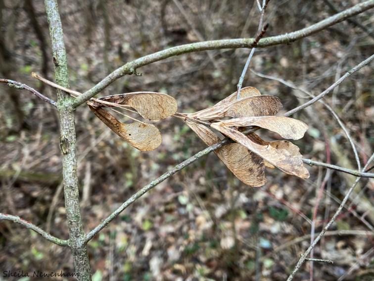 Elm seeds
