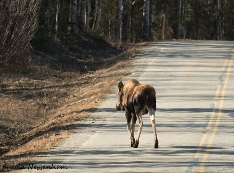 Alaskan Moose