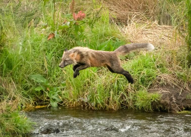 Foxes in Kodiak Wildlife Refuge