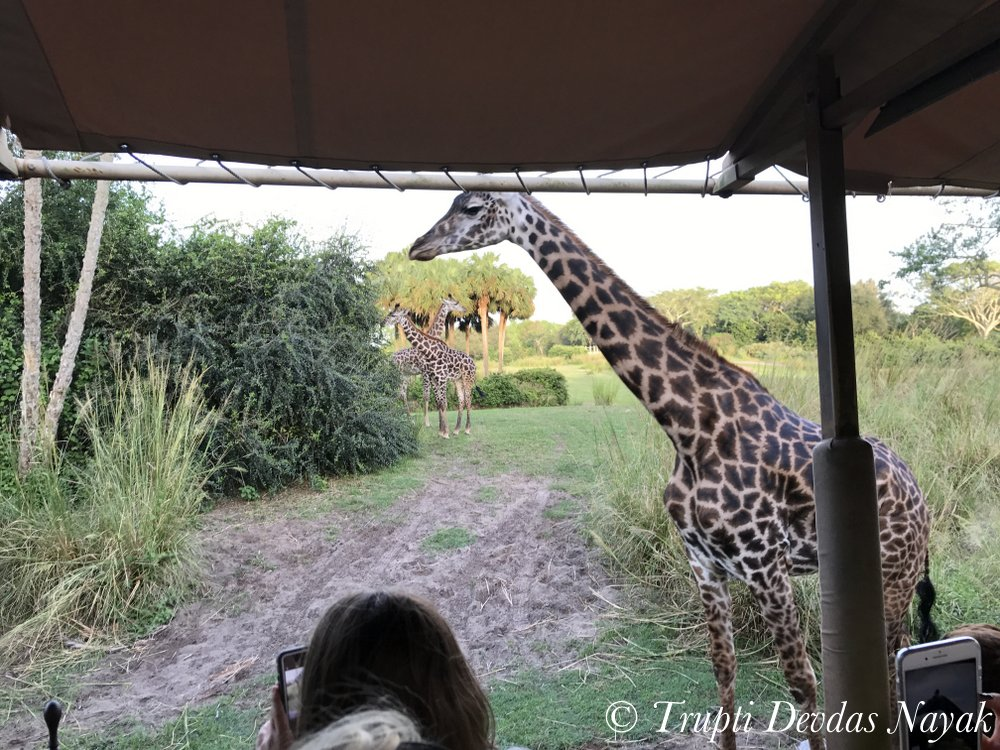 Giraffe spotting on safari at Disney's Animal Kingdom