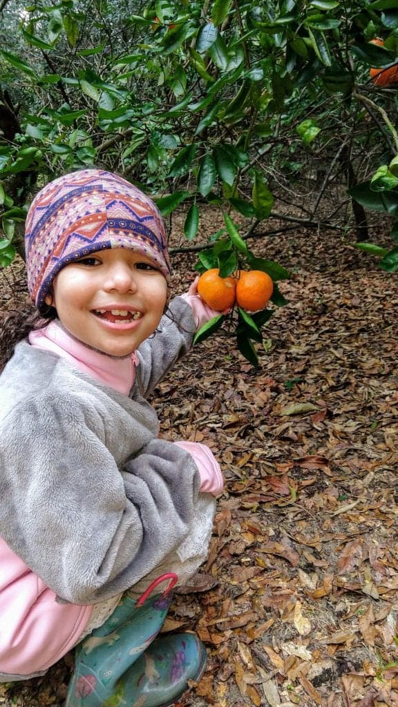 Young girl picking tangerines from a bush.