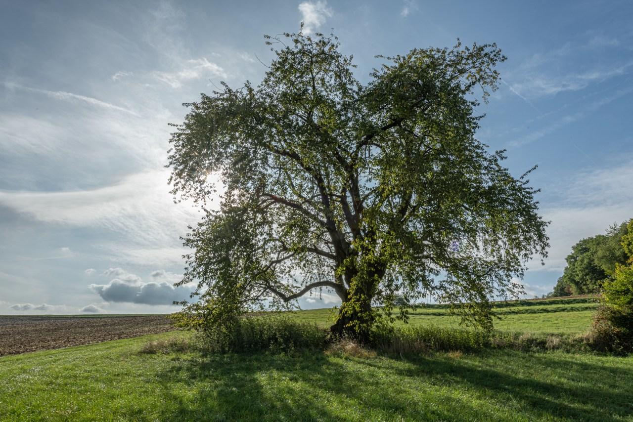 Deutschlands dickster Kirschbaum