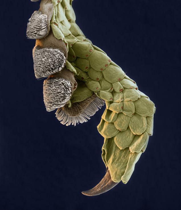Leg of a Gecko