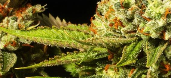 Congress Ends Government's Ban On Medical Marijuana