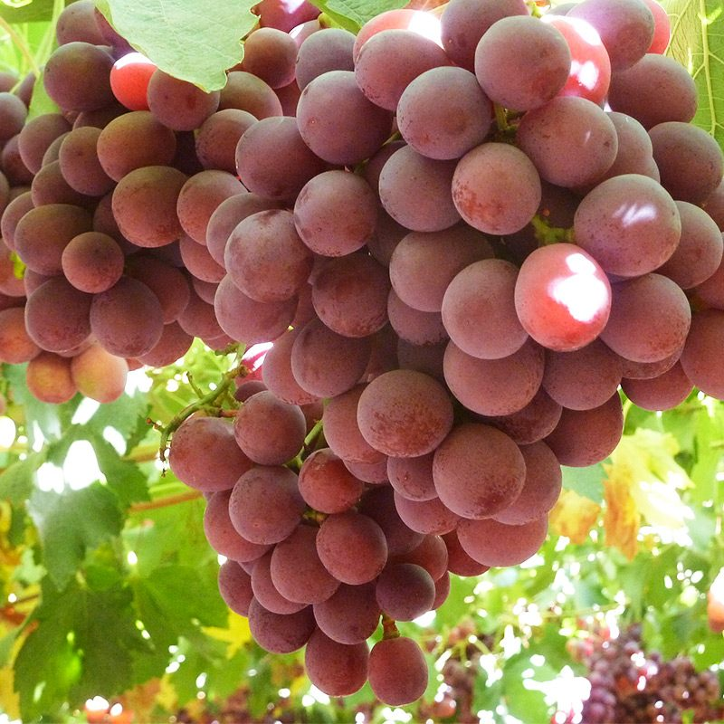 Table Grapes – EXSER