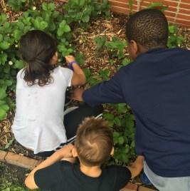 Three students pick strawberries in school garden bed.